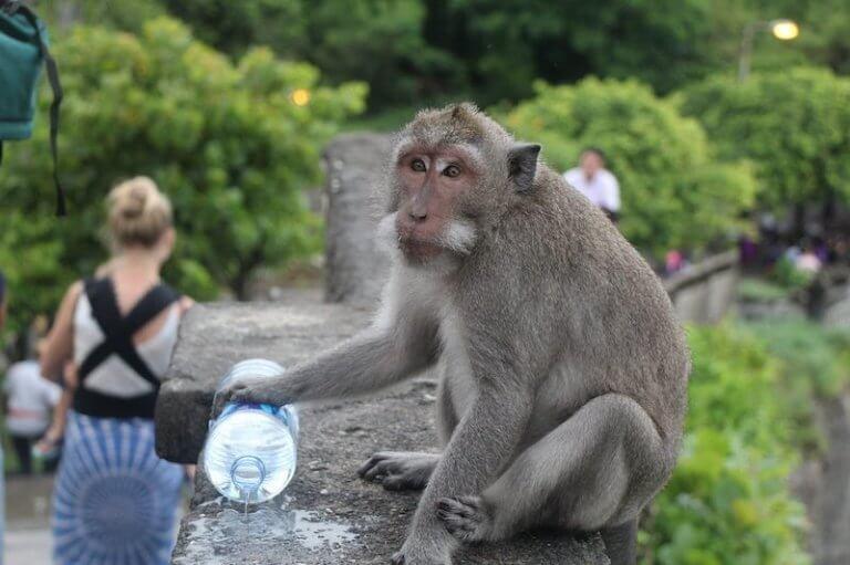 monos en Teplo de Uluwatu