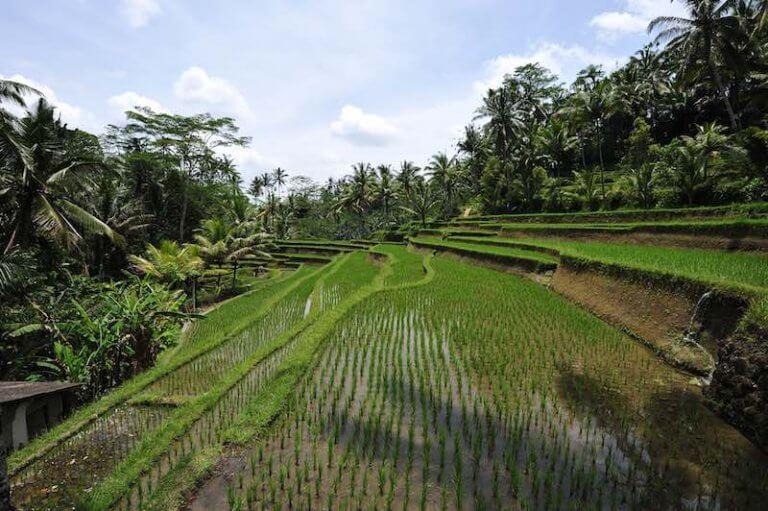 Terrazas de arroz de camino al templo